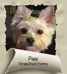 Ziggy - therapy dog
